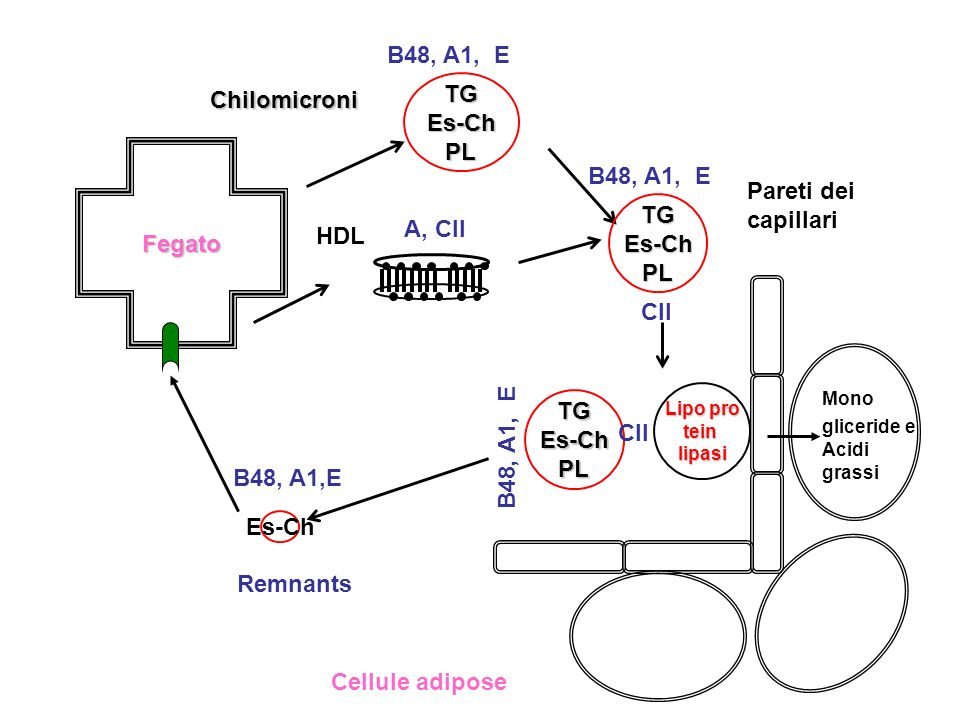 B48, A1, E TG Chilomicroni Es-Ch PL B48, A1, E Pareti dei capillari
