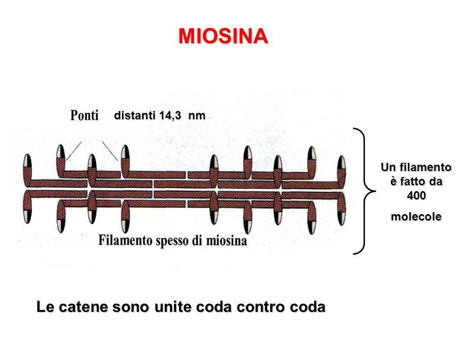 MIOSINA Le catene sono unite coda contro coda distanti 14,3 nm