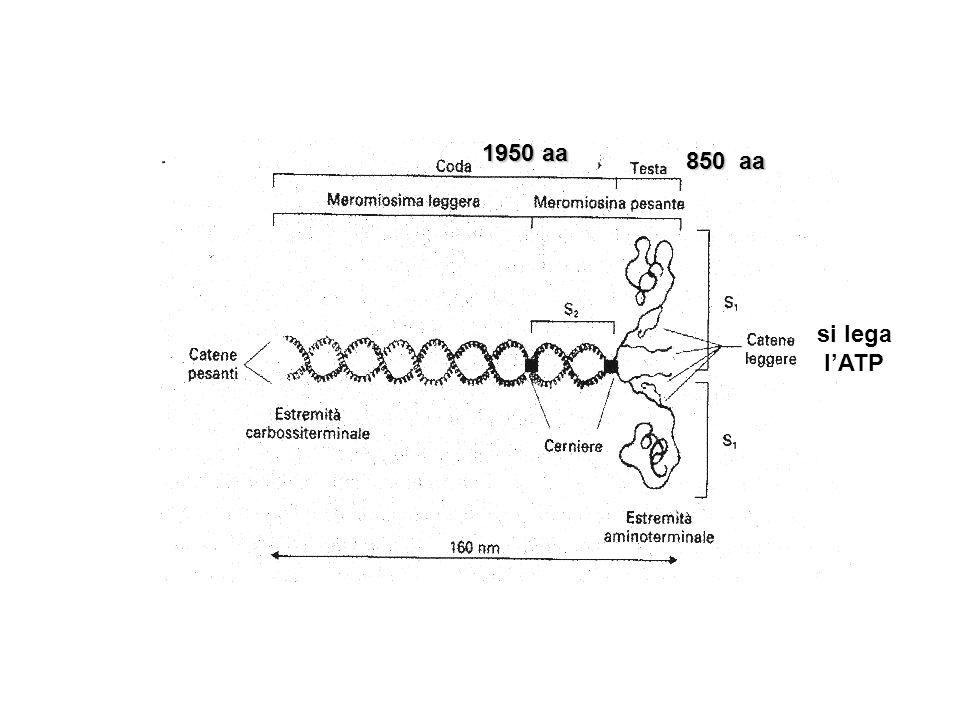 1950 aa 850 aa si lega l'ATP