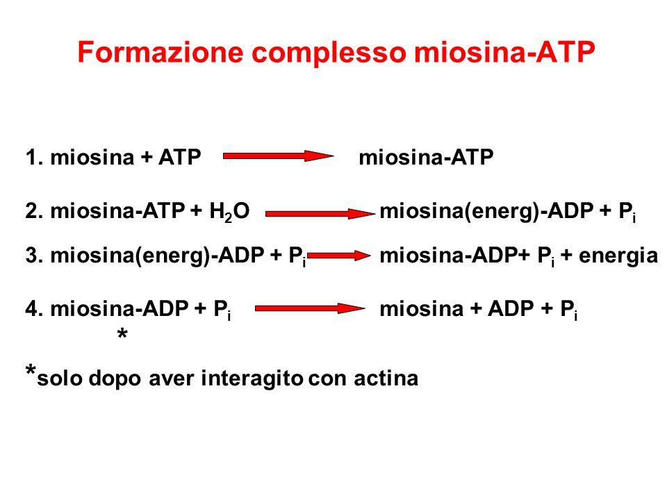 Formazione complesso miosina-ATP