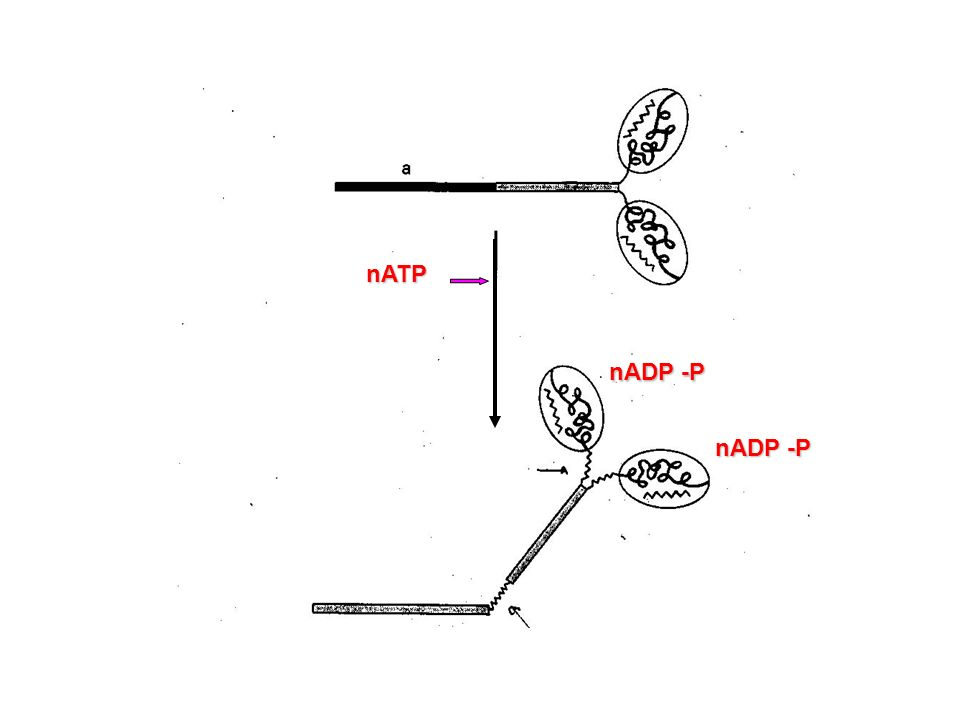 nATP nADP -P