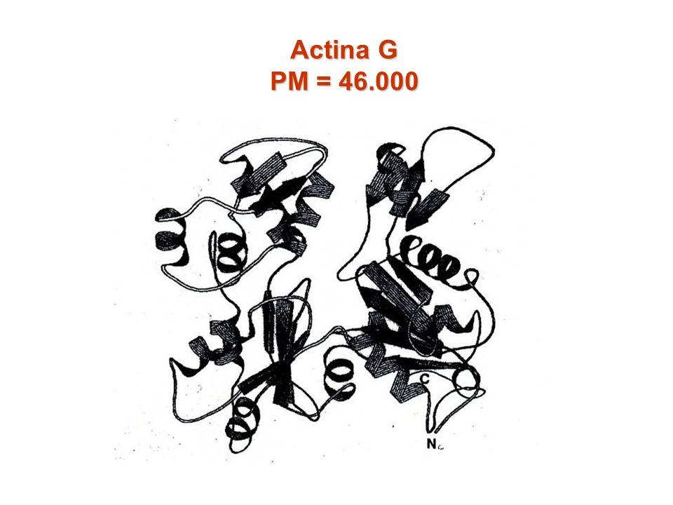 Actina G PM = 46.000
