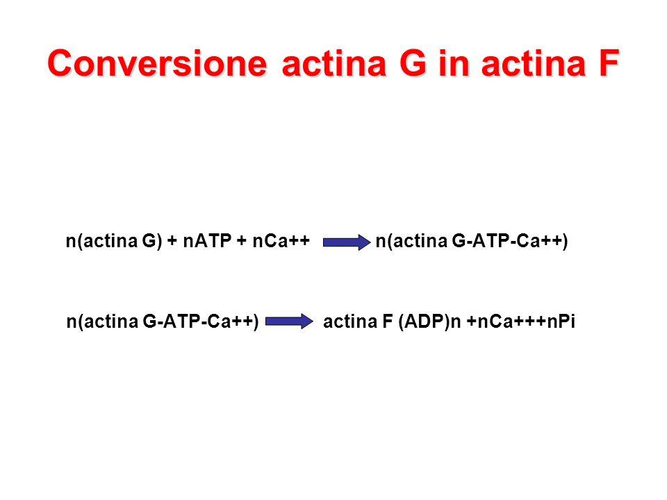 Conversione actina G in actina F
