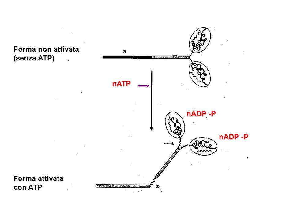 Forma non attivata (senza ATP)