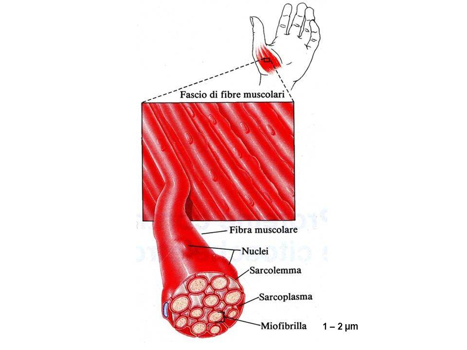 1 – 2 µm