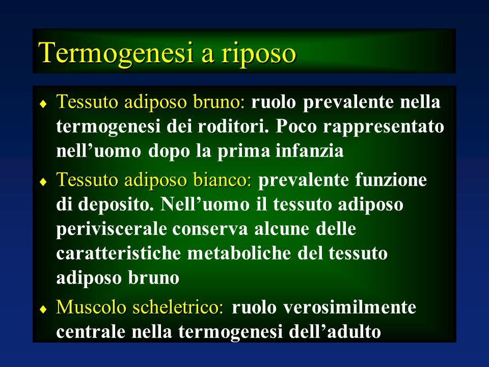 Termogenesi a riposo Tessuto adiposo bruno: ruolo prevalente nella termogenesi dei roditori. Poco rappresentato nell'uomo dopo la prima infanzia.