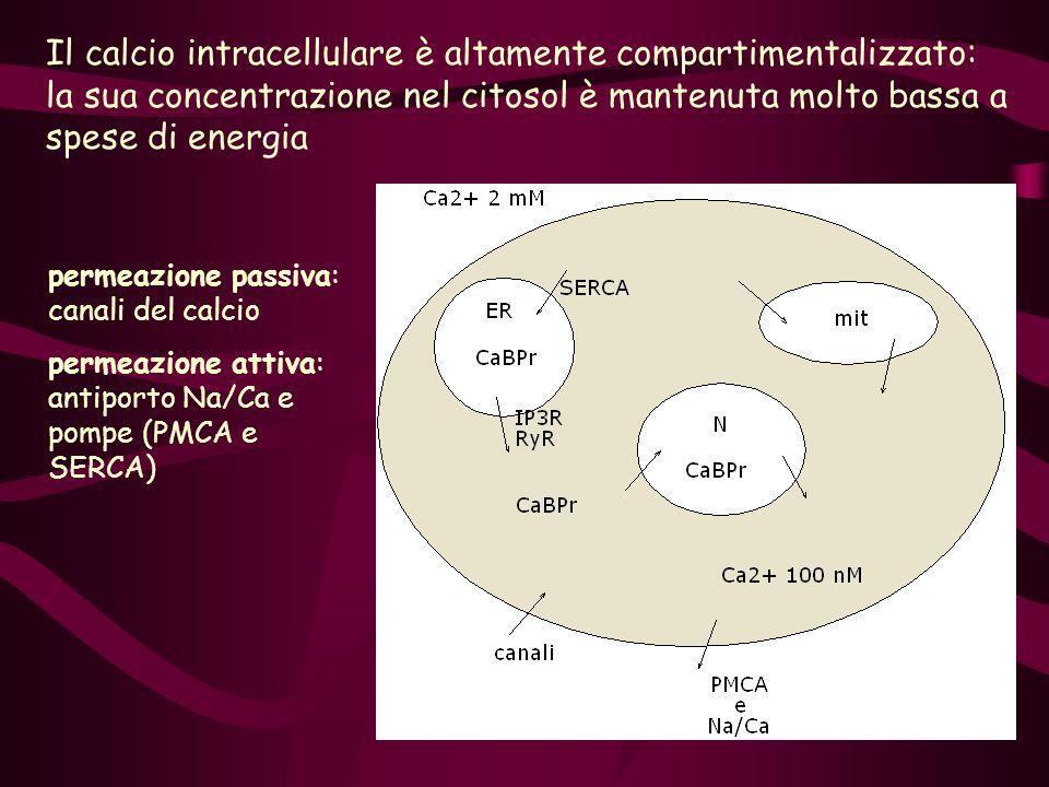 Il calcio intracellulare è altamente compartimentalizzato: