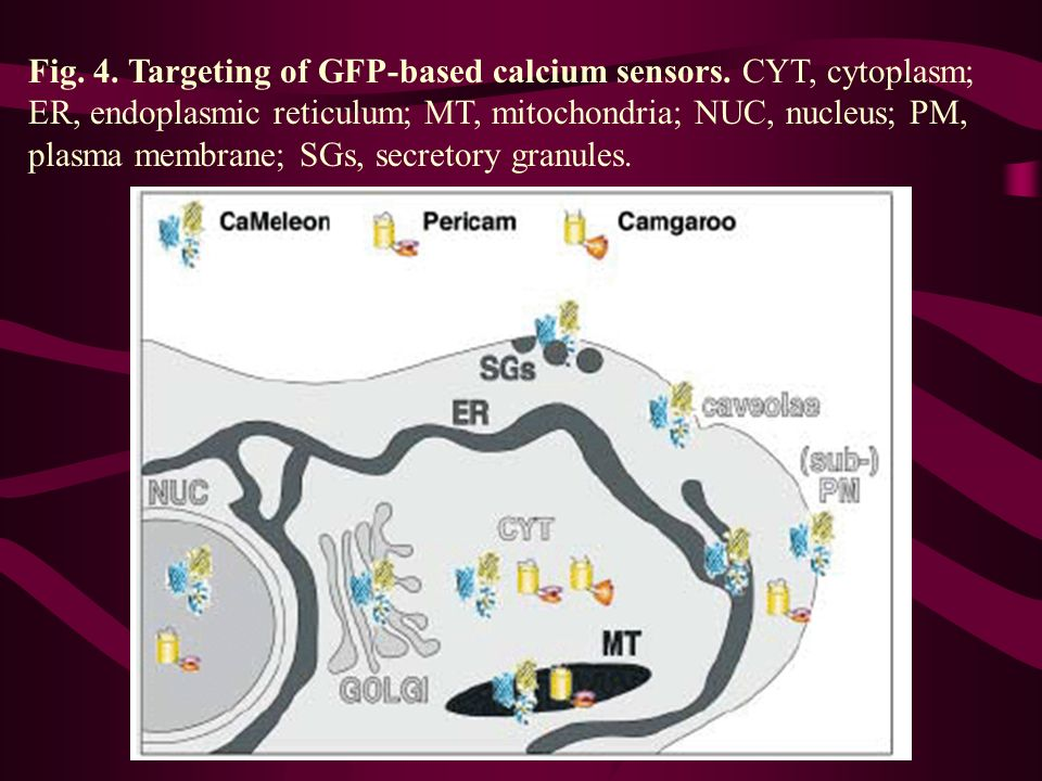 Fig. 4. Targeting of GFP-based calcium sensors