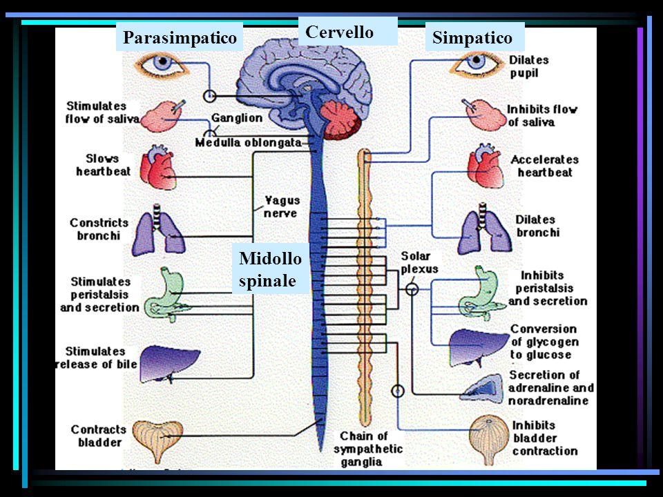Cervello Parasimpatico Simpatico Midollo spinale