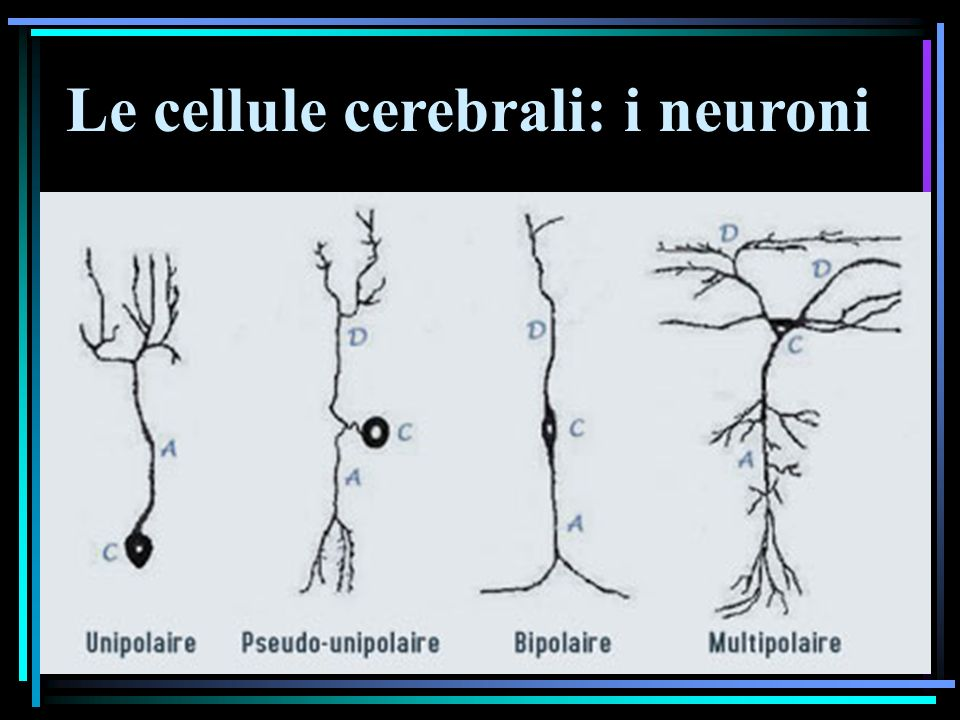 Le cellule cerebrali: i neuroni