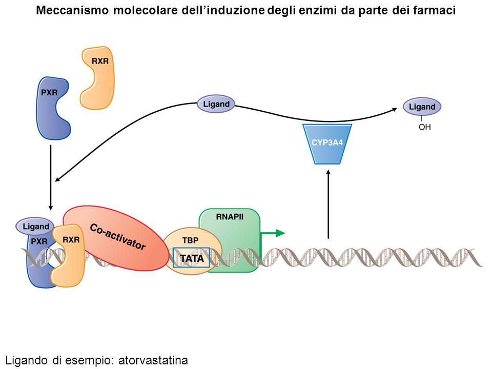 Meccanismo molecolare dell'induzione degli enzimi da parte dei farmaci