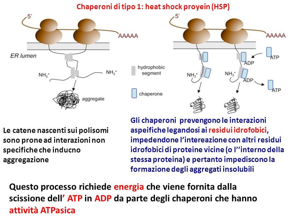 Chaperoni di tipo 1: heat shock proyein (HSP)