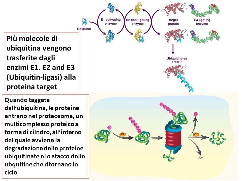 Più molecole di ubiquitina vengono trasferite dagli enzimi E1
