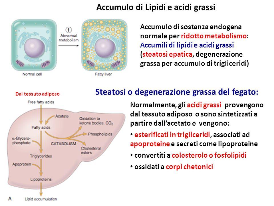 Accumulo di Lipidi e acidi grassi
