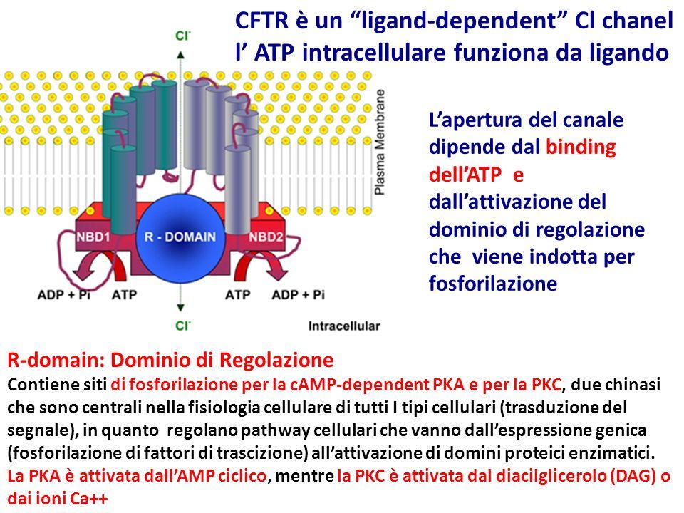 CFTR è un ligand-dependent Cl chanel l' ATP intracellulare funziona da ligando