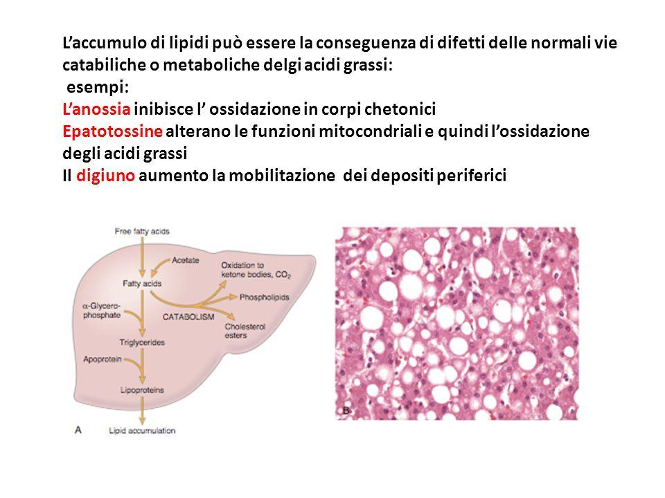 L'accumulo di lipidi può essere la conseguenza di difetti delle normali vie catabiliche o metaboliche delgi acidi grassi: