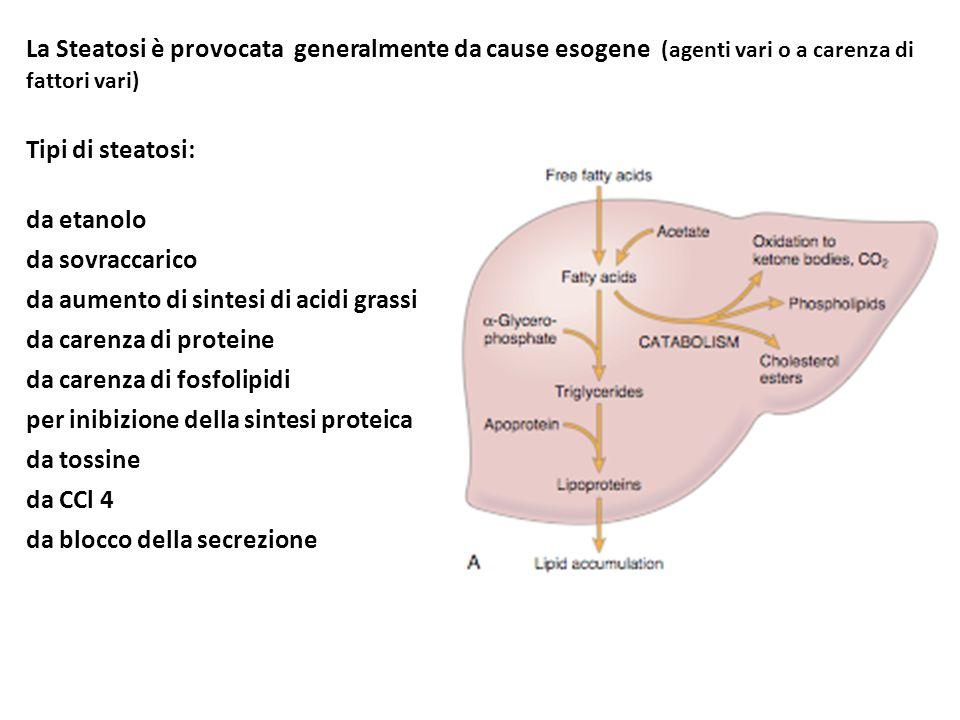 La Steatosi è provocata generalmente da cause esogene (agenti vari o a carenza di fattori vari)