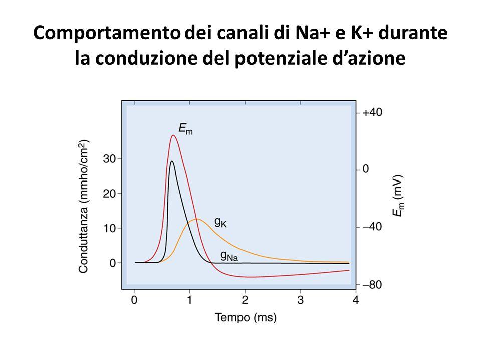 Comportamento dei canali di Na+ e K+ durante la conduzione del potenziale d'azione