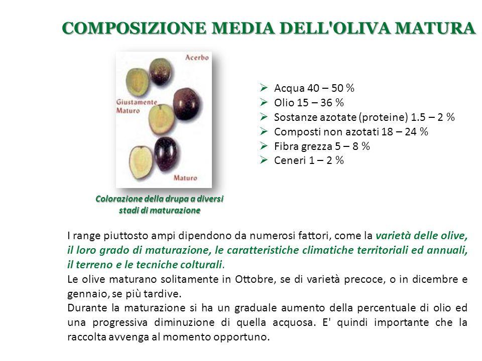Composizione media dell oliva matura