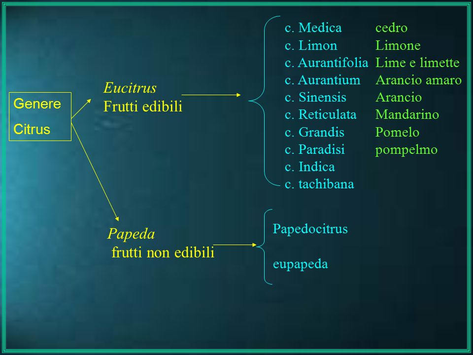 Eucitrus Frutti edibili Papeda frutti non edibili c. Medica c. Limon