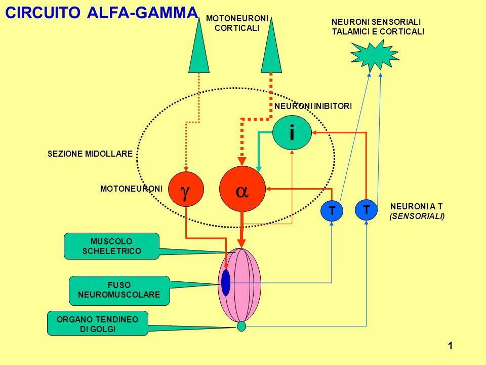 i a g CIRCUITO ALFA-GAMMA T T 1 MOTONEURONI NEURONI SENSORIALI