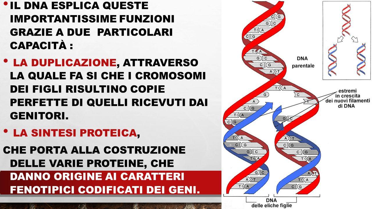 IL DNA ESPLICA QUESTE IMPORTANTISSIME FUNZIONI GRAZIE A DUE PARTICOLARI Capacità :