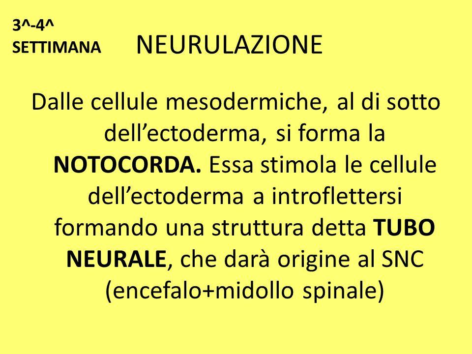 3^-4^ SETTIMANA NEURULAZIONE.