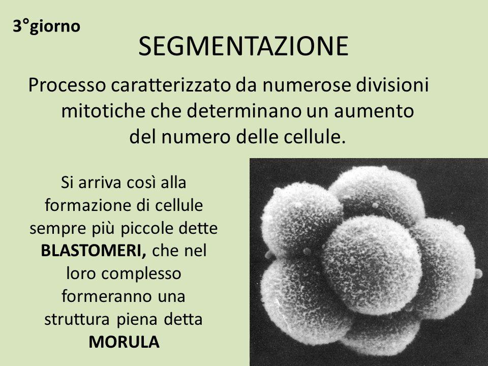 3°giorno SEGMENTAZIONE. Processo caratterizzato da numerose divisioni mitotiche che determinano un aumento del numero delle cellule.