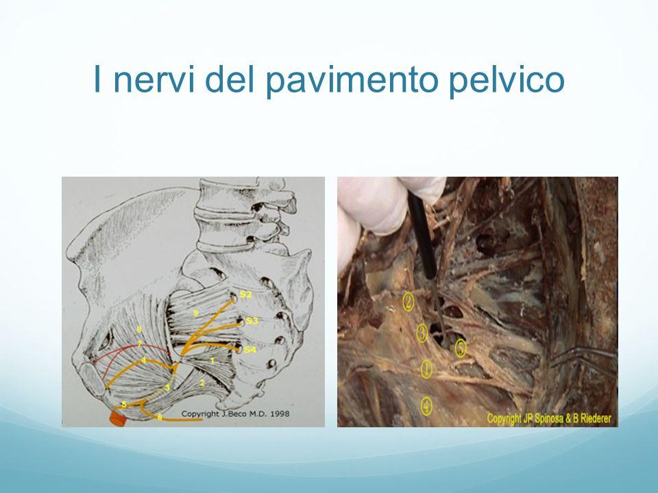 I nervi del pavimento pelvico
