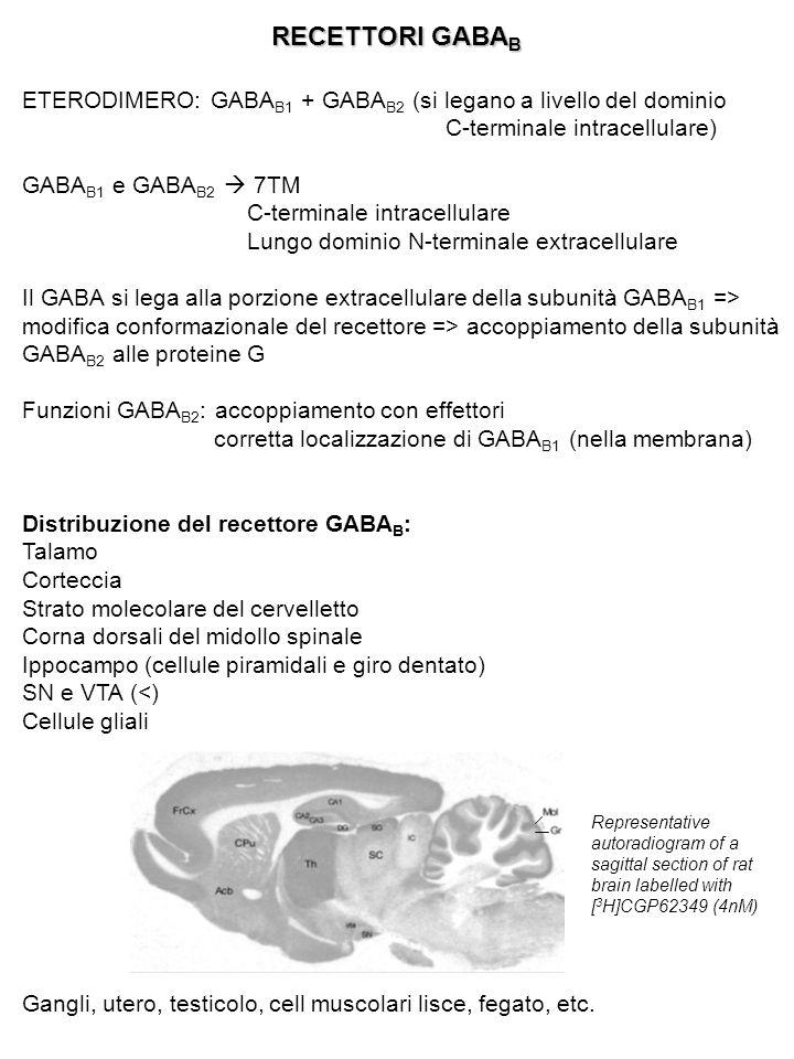 RECETTORI GABAB ETERODIMERO: GABAB1 + GABAB2 (si legano a livello del dominio C-terminale intracellulare)