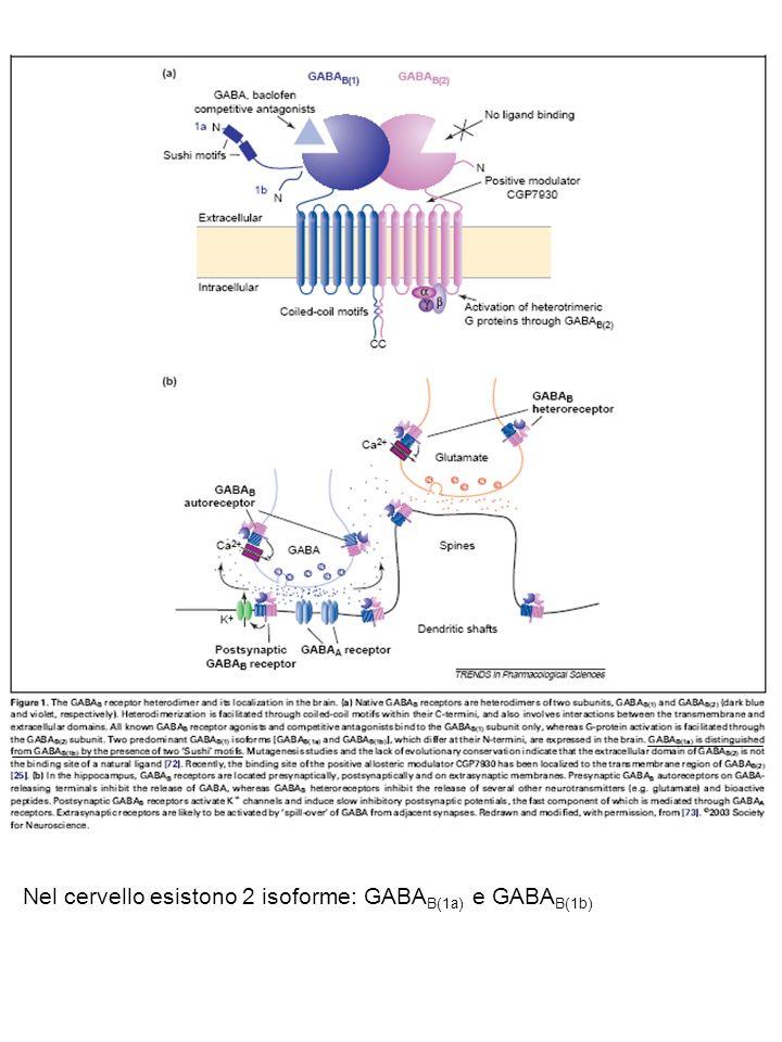 Nel cervello esistono 2 isoforme: GABAB(1a) e GABAB(1b)
