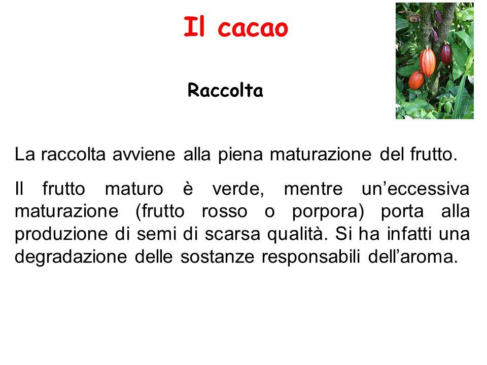 Il cacao Raccolta. La raccolta avviene alla piena maturazione del frutto.