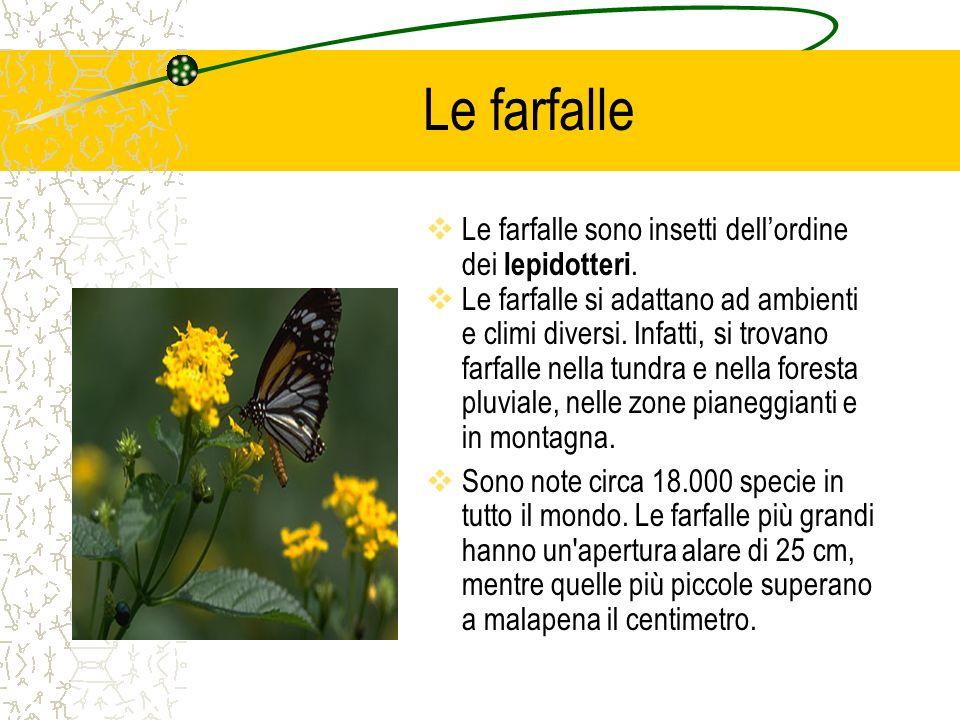 Le farfalle Le farfalle sono insetti dell'ordine dei lepidotteri.