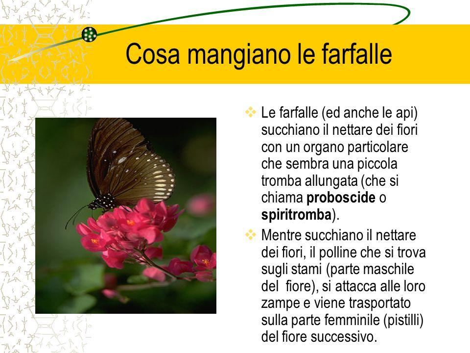 Cosa mangiano le farfalle