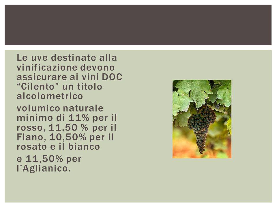Le uve destinate alla vinificazione devono assicurare ai vini DOC Cilento un titolo alcolometrico