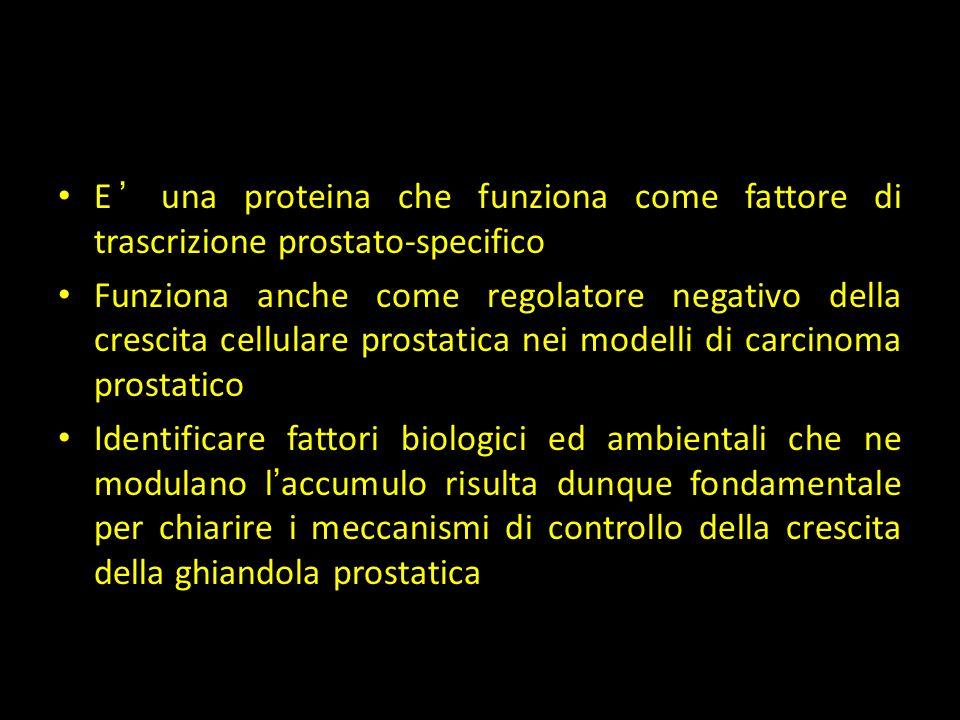 NKX3.1 E' una proteina che funziona come fattore di trascrizione prostato-specifico.