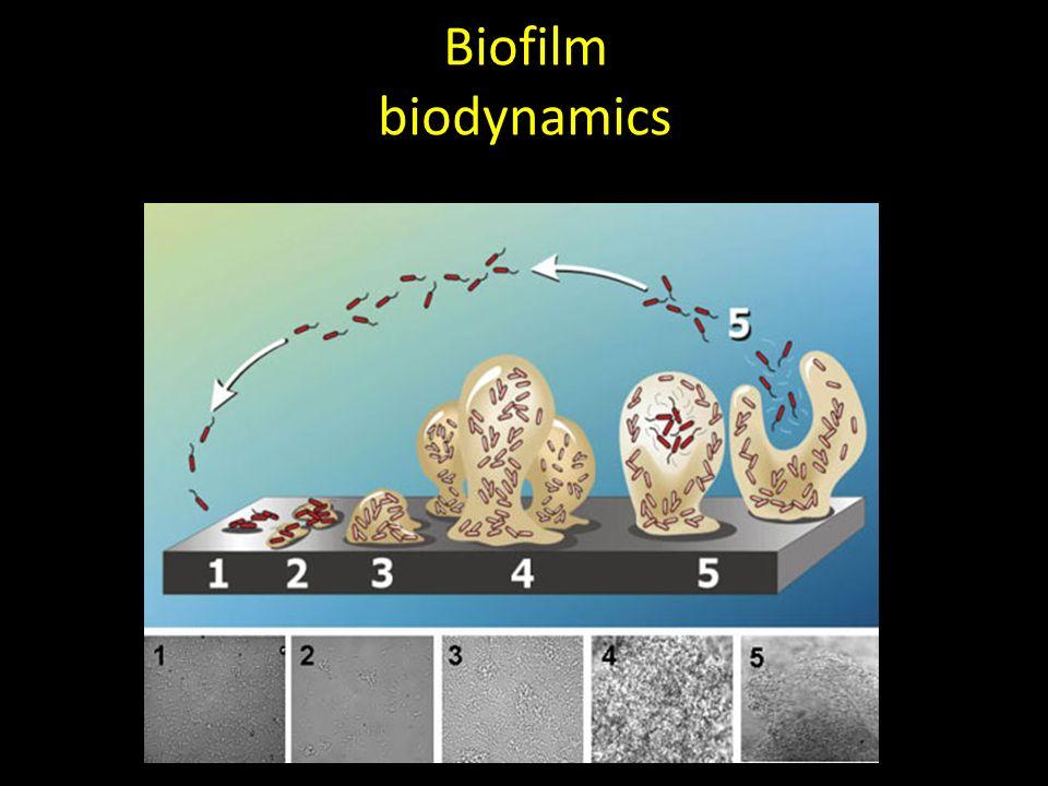 Biofilm biodynamics