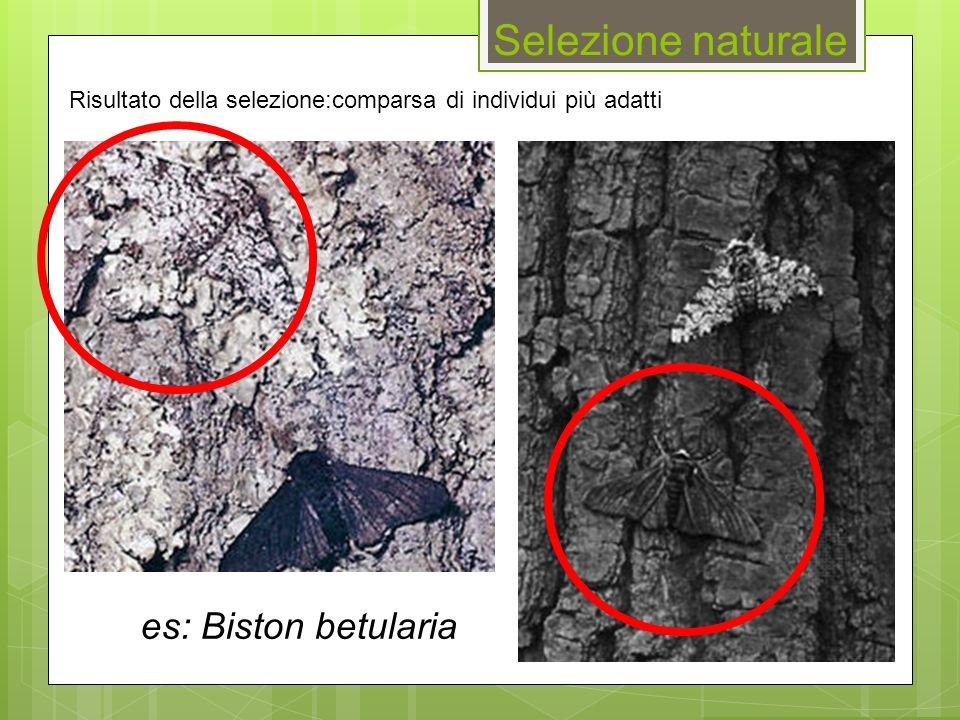es: Biston betularia Selezione naturale