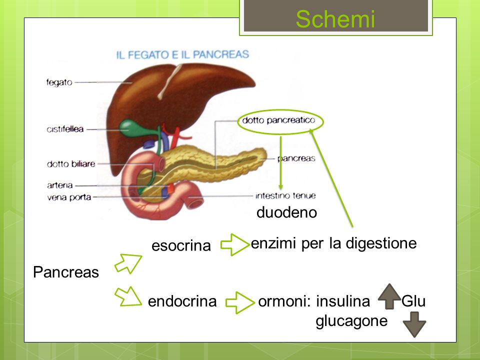 Schemi duodeno esocrina enzimi per la digestione Pancreas endocrina