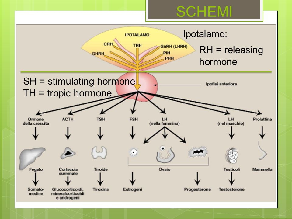 SCHEMI Ipotalamo: RH = releasing hormone SH = stimulating hormone