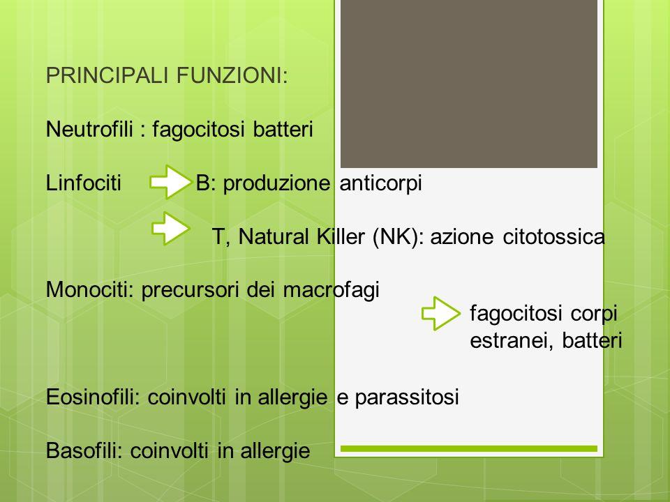 PRINCIPALI FUNZIONI: Neutrofili : fagocitosi batteri. Linfociti B: produzione anticorpi.