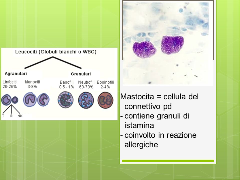 Mastocita = cellula del connettivo pd