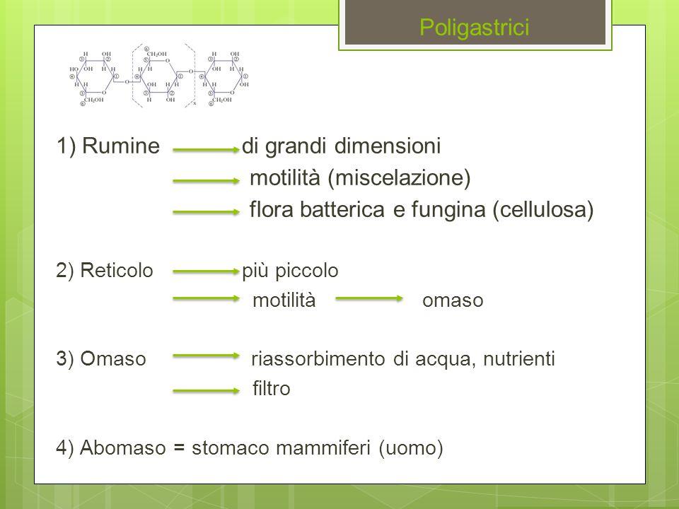 Poligastrici 1) Rumine di grandi dimensioni motilità (miscelazione)