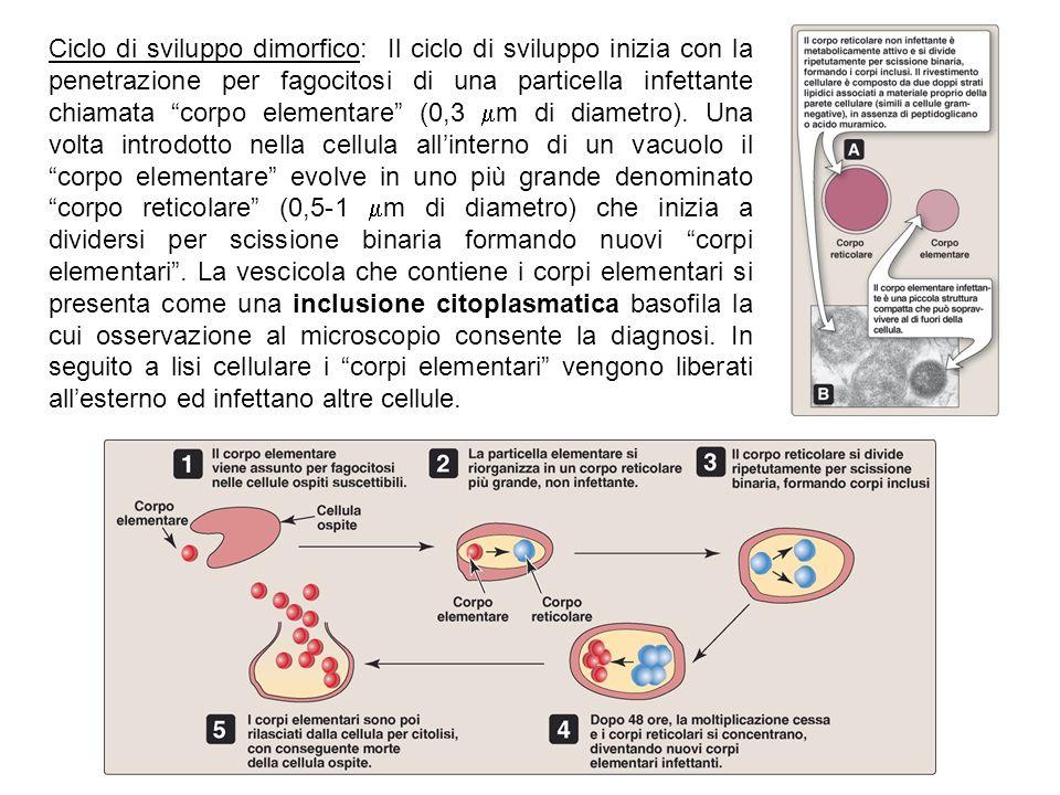 Ciclo di sviluppo dimorfico: Il ciclo di sviluppo inizia con la penetrazione per fagocitosi di una particella infettante chiamata corpo elementare (0,3 m di diametro).