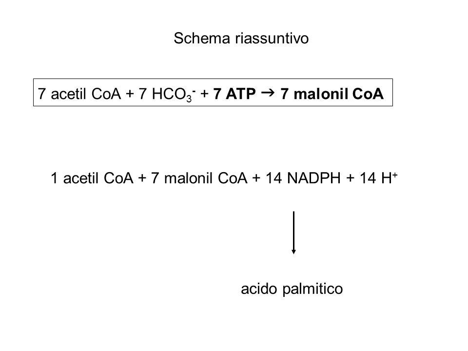Schema riassuntivo 7 acetil CoA + 7 HCO3- + 7 ATP  7 malonil CoA. 1 acetil CoA + 7 malonil CoA + 14 NADPH + 14 H+