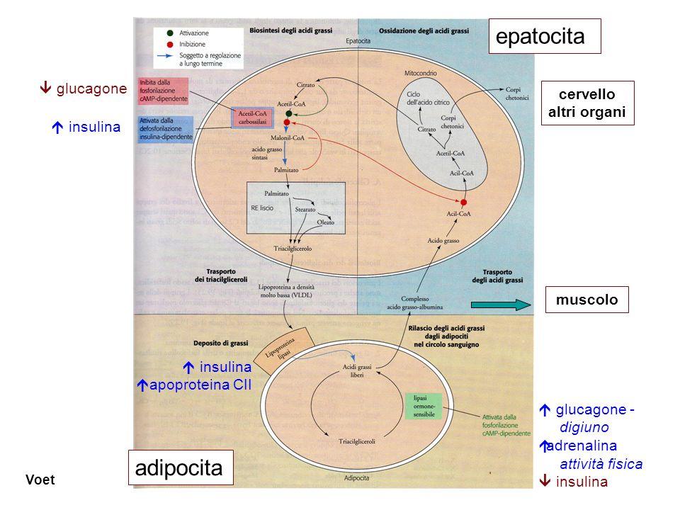 epatocita adipocita  glucagone cervello altri organi muscolo