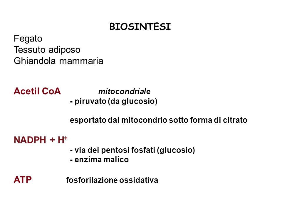 Acetil CoA mitocondriale