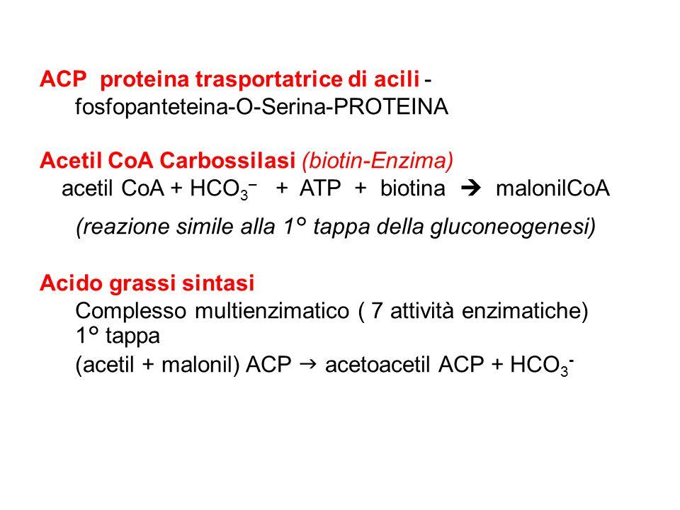 acetil CoA + HCO3– + ATP + biotina  malonilCoA
