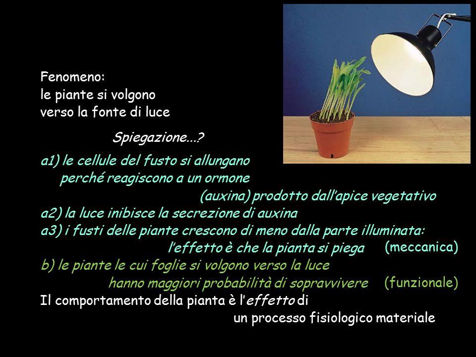 Fenomeno: le piante si volgono. verso la fonte di luce. Spiegazione... a1) le cellule del fusto si allungano.