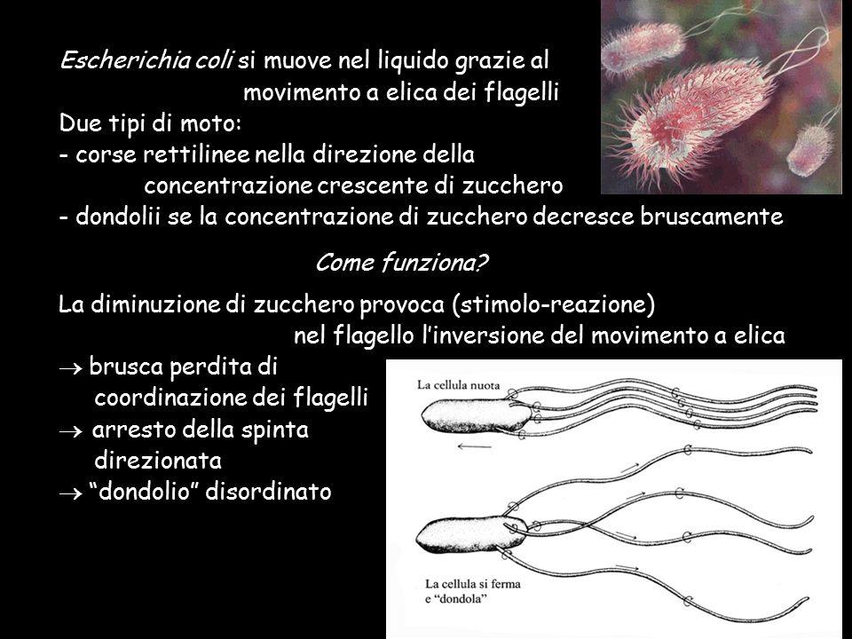 Escherichia coli si muove nel liquido grazie al